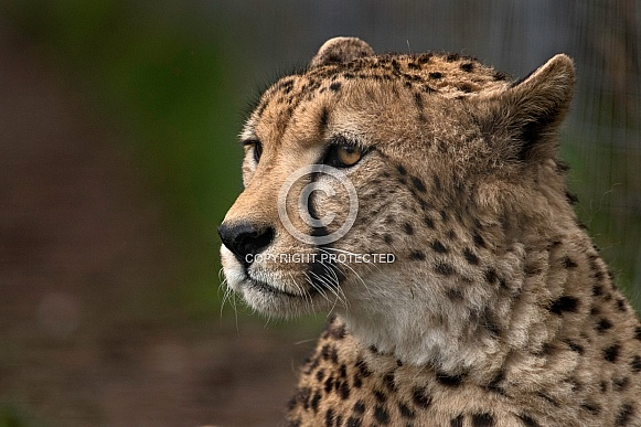 Cheetah Head Shot Looking Sideways