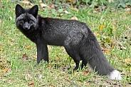 Red Fox - black phase