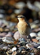 Wheatear female