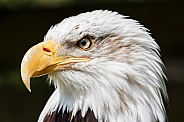 Bald Eagle Profile Shot