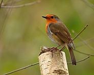 Eurasian Robin