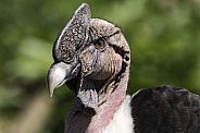 Andean Condor Male Close Up