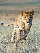 Young Lion Running