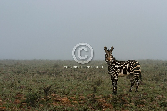 Mountain Zebra in the mist