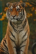 Amur Tiger Sitting Up Straight