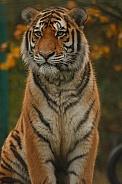 Amur Tiger Sitting Up Straight
