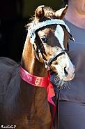 Show Winning Arabian Foal