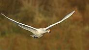 Bewick's Swan in Flight