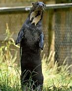standing giant otter