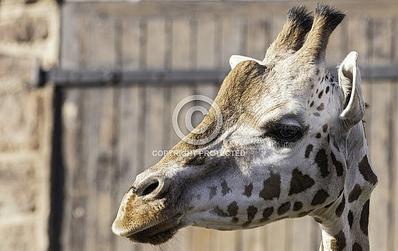 Rothschild's Giraffe Close Up Head Shot Side Profile