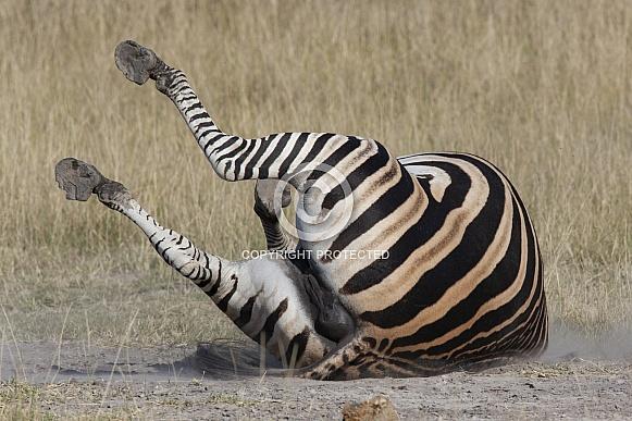 Zebra enjoying a dust bath - Botswana