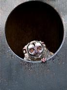 Gray-bellied night monkey (Aotus lemurinus)
