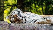 Amur Tiger resting on Rock.