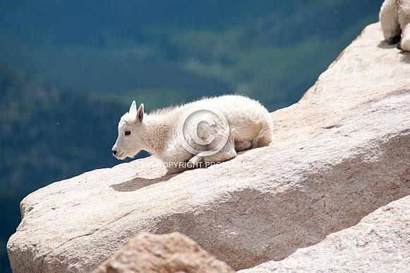 Wild mountain goat kid laying down