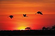 Yellowbilled Storks at sunset - Botswana