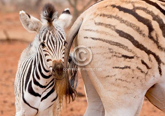 Zebra Foal, Kruger RSA