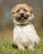 Shih Tzu / Border Terrier Cross