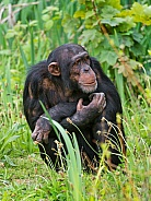 Young Chimp