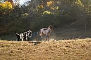 Missouri Fox Trotter foals