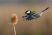 A hovering Great tit