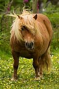 Cheeky Shetland Pony