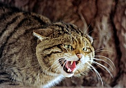 Hissing Wildcat
