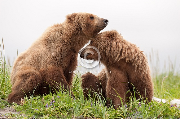 Wild Alaskan Brown Bears