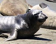 Weaner Elephant seal