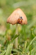 Spotted Amber Ladybird on mushroom
