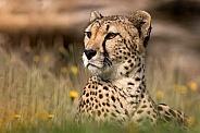 Cheetah In Grass Head Up