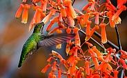 Hummingbird in the Orange Aloe