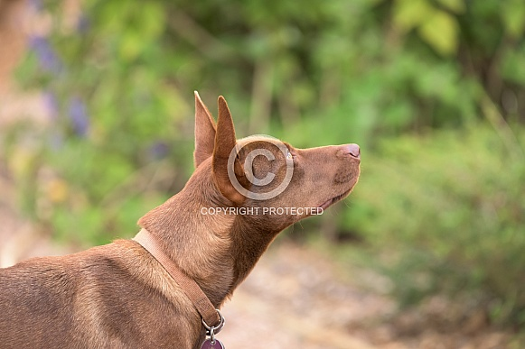 Red Dog looking up in profile view