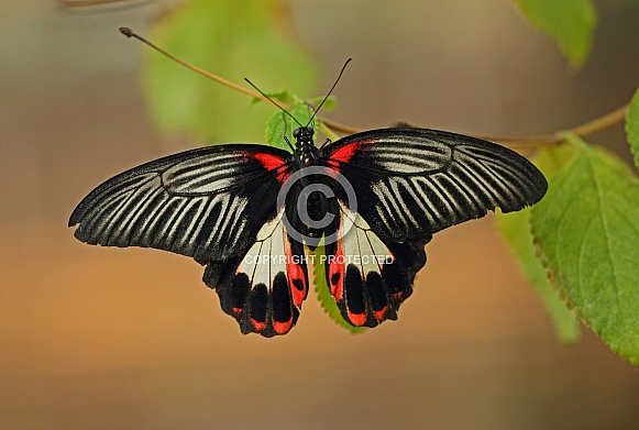 Common Mormon