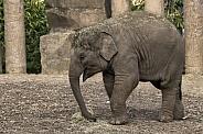 Asiatic Elephant Calf Full Body Side Shot
