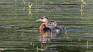 Red-necked Grebe with Chick in Alaska