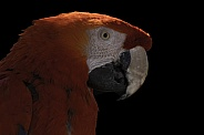 Scarlet Macaw Close Up Black Background