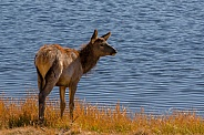 Elk Calf at Yellowstone Lake