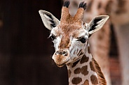 Head shot of giraffe