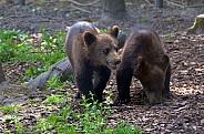 European Brown Bear Cubs
