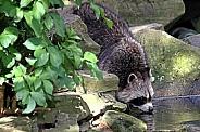 Raccoon drinking