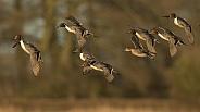 Northern Pintail Ducks in Flight