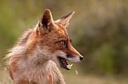 Young Red Fox