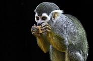 Squirrel Monkey Eating Nibbling