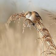 The bearded reedling (Panurus biarmicus)