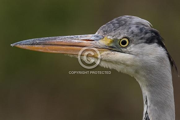 Heron Close Up Side Profile