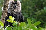 Lion-tailed Macaque/ Wanderoo
