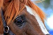 Eye For You- Arabian Stallion