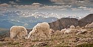 Wild mountain goats against an alpine backdrop