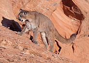 mountain lion, puma, concolor