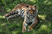 Bengal Tiger Full Body Lying Down